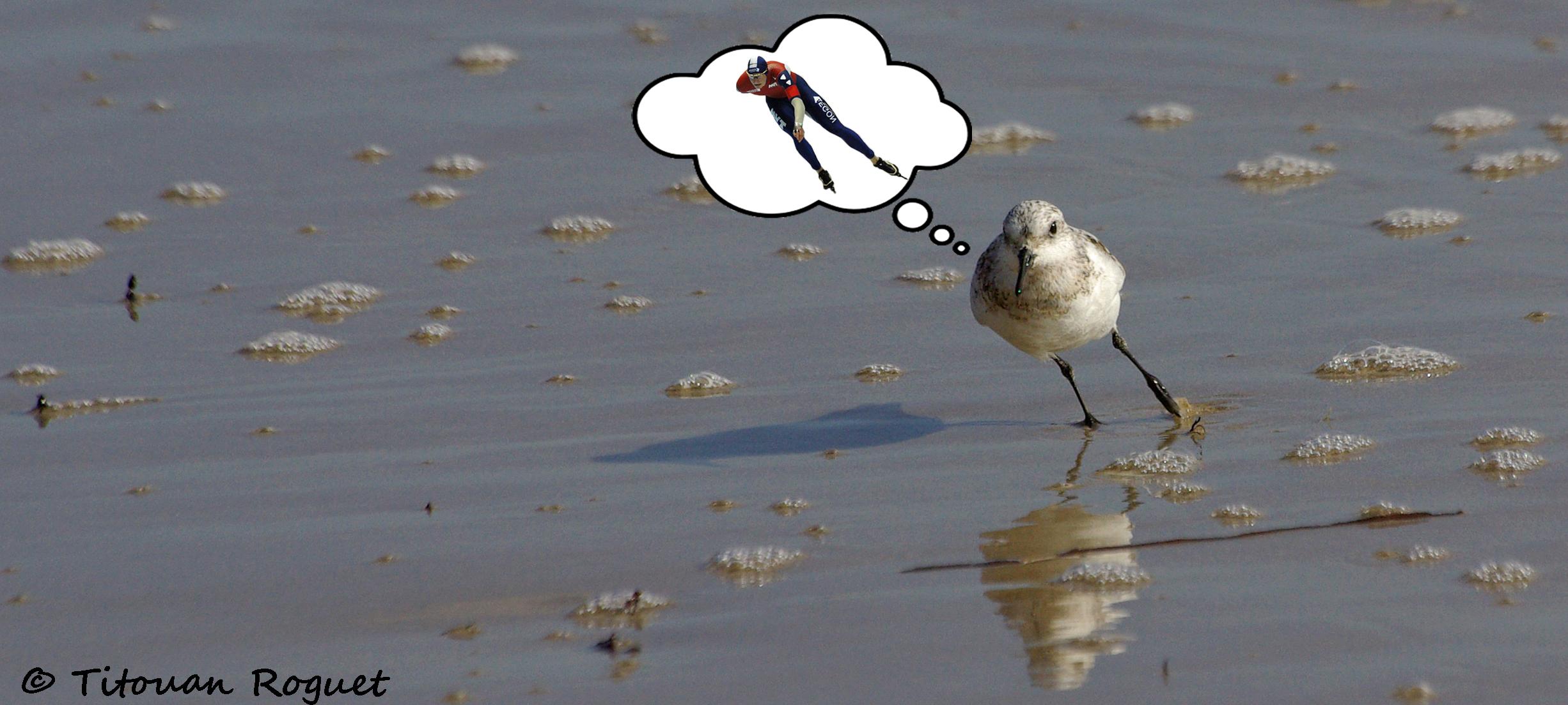 Bécasseau sanderling (Calidris alba)