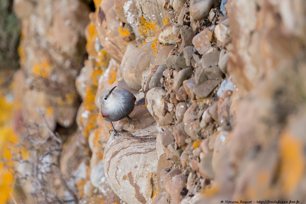 Tichodrome échelette (Tichodroma muraria) photographié avec Canon EOS 5D Mark IV + Sigma 150-600mm f/5-6.3 DG OS HSM Sport