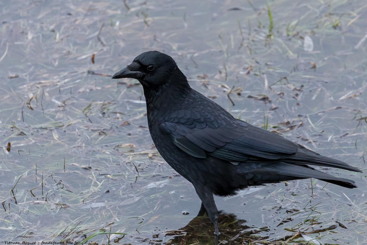 Corneille noire (Corvus corone) photographiée avec Canon EOS 5D Mark IV + Sigma 150-600mm f/5-6.3 DG OS HSM Sport