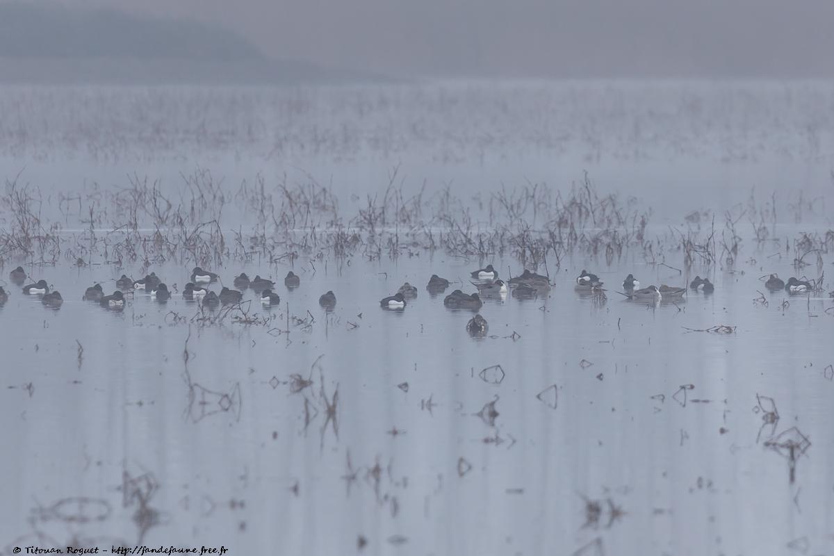 Groupe de canards et fuligules sur le Grand Coulon
