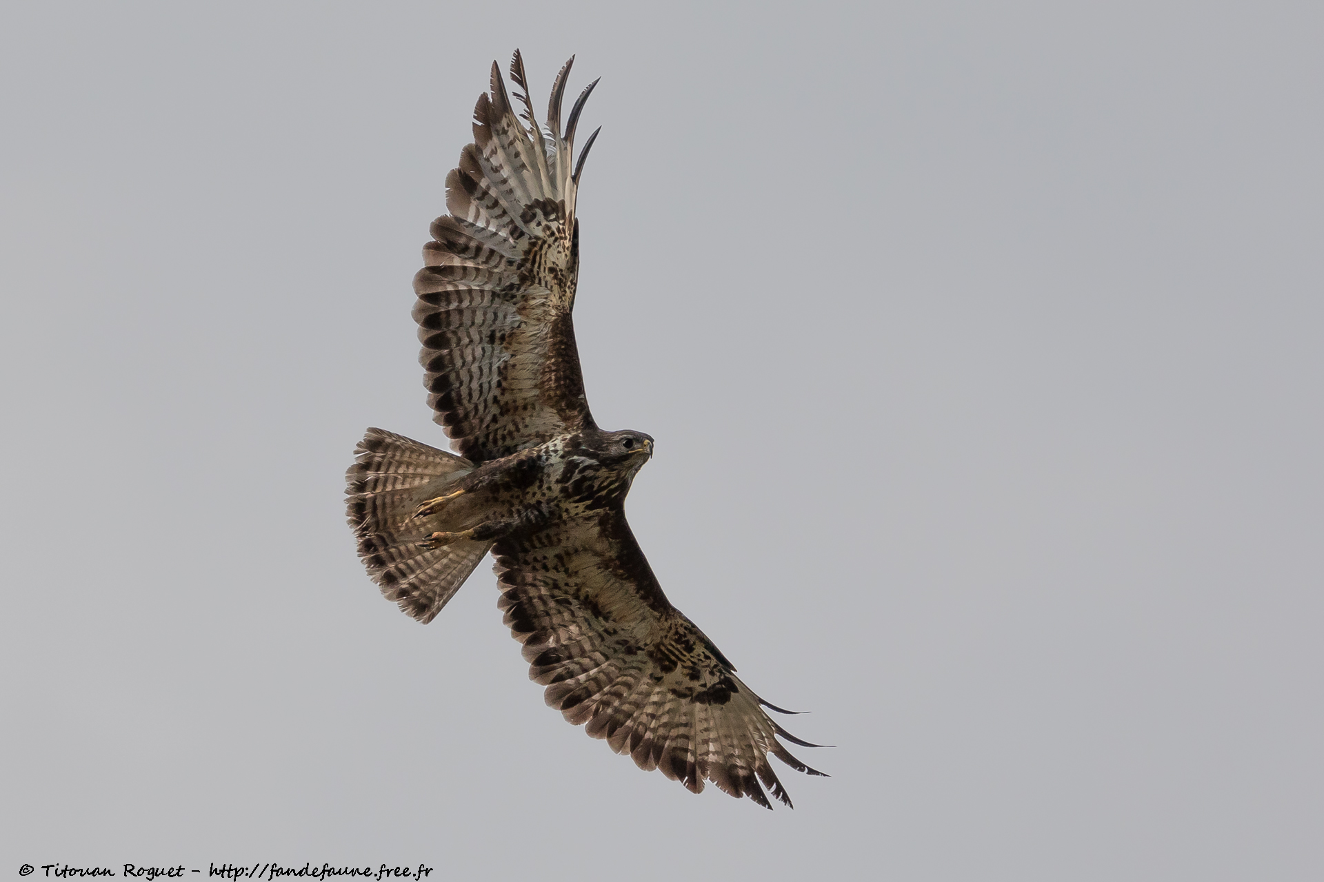 Buse variable (Buteo buteo) photographiée avec Canon EOS 5D Mark IV + Sigma 150-600mm f/5-6.3 DG OS HSM Sport