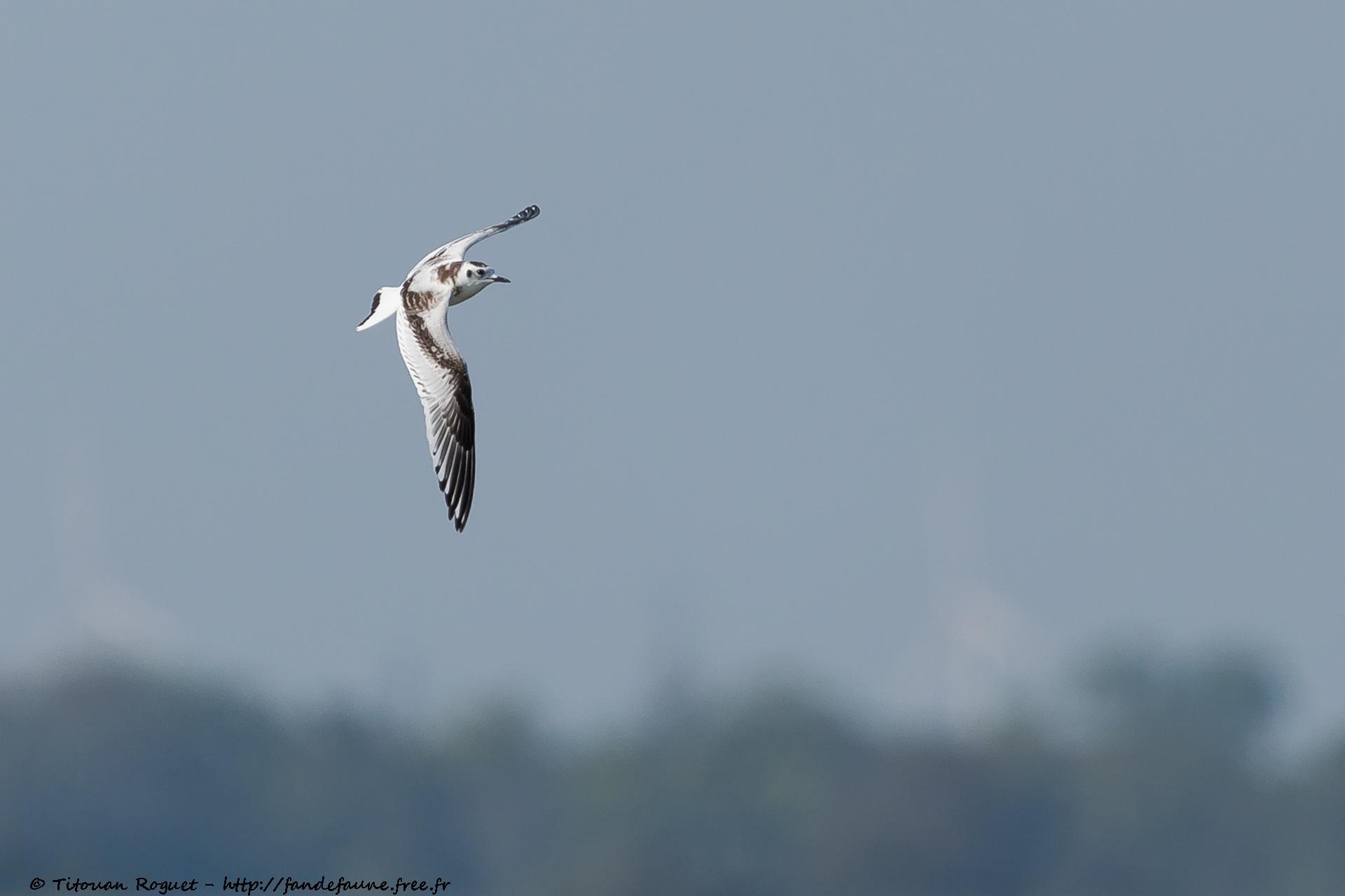 Mouette pygmée (Hydrocoloeus minutus) photographiée avec Canon EOS 5D Mark IV + Sigma 150-600mm f/5-6.3 DG OS HSM Sport