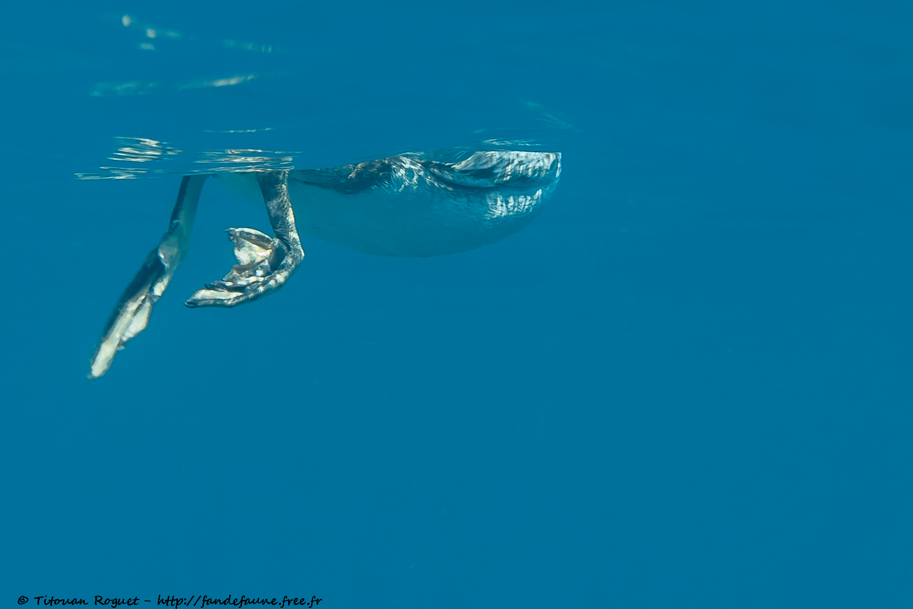 Cormoran huppé de Méditerranée (Phalacrocorax aristotelis desmarestii) photographié avec Lumix LX100 et un caisson Ikelite