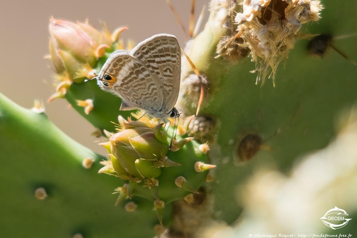 Azuré Porte-Queue (Lampides boeticus) photographié avec Pentax K3 + Sigma 150-500mm f/5-6.3