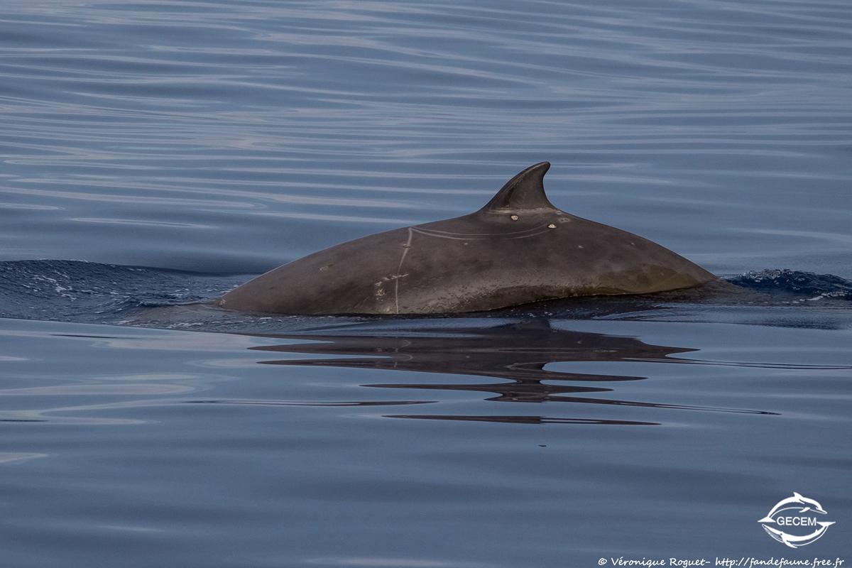 Baleine à bec de Cuvier (Ziphius cavirostris) photographiée avec Pentax K3 + Sigma 150-500mm f/5-6.3