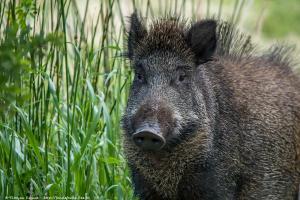 Sanglier (Sus scrofa) - Wild boar
