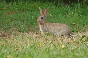 Lapin de garenne (Oryctolagus cuniculus) - European rabbit