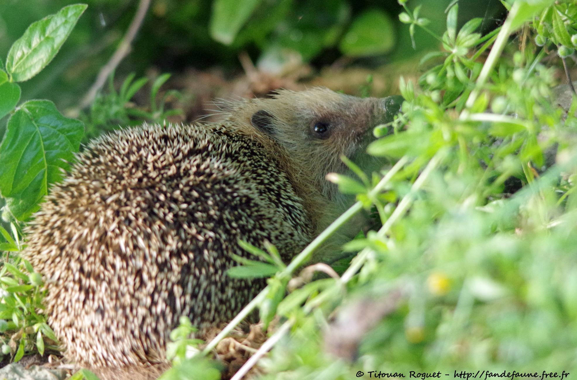Hérisson d'Europe (Erinaceus europaeus) - European hedgehog
